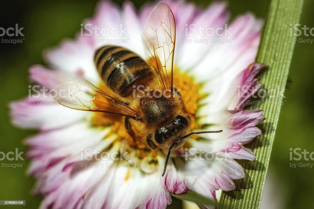 Bee on a flower collecting pollen and nectar stock photo