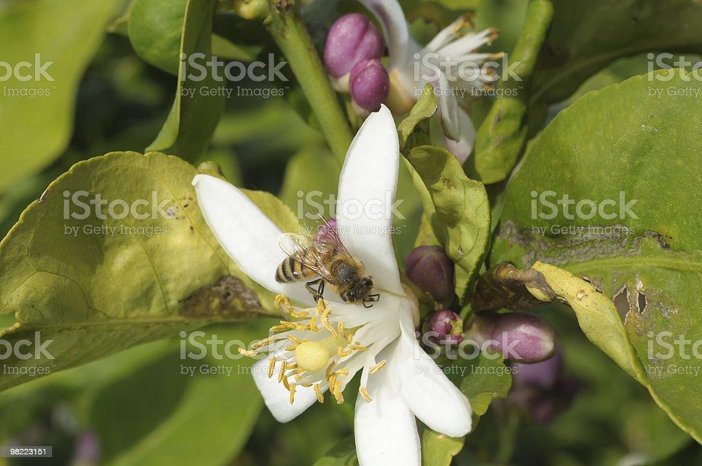 Bee on a flower lemon royalty-free stock photo