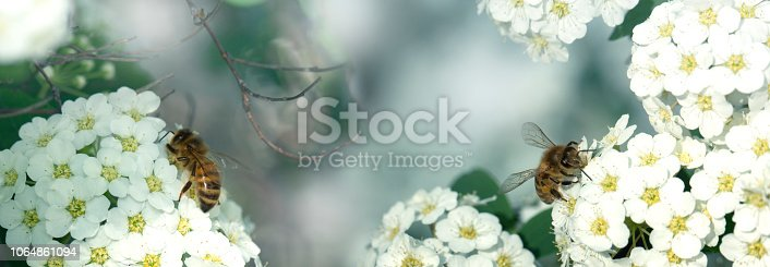 643781968 istock photo Bee on a flower of the white cherry blossoms. Macro of honey bee on white flower 1064861094
