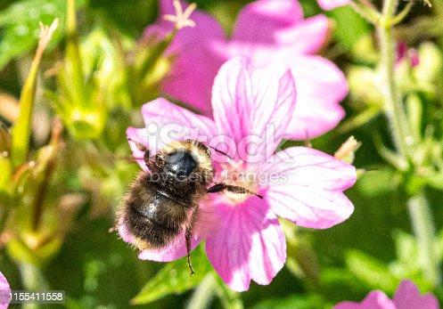 Honey bee flying next to geranium flowers.