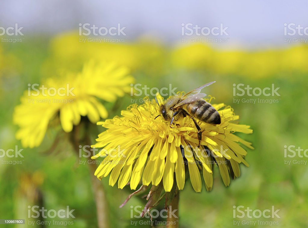 Bee on a flower. stock photo