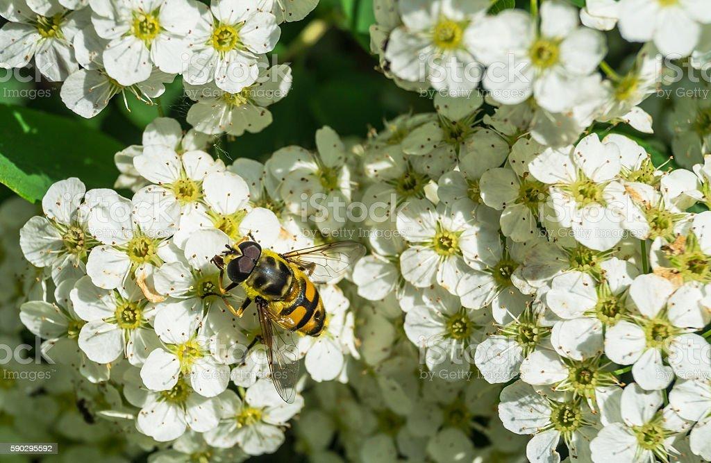 Пчела на цветок  Стоковые фото Стоковая фотография