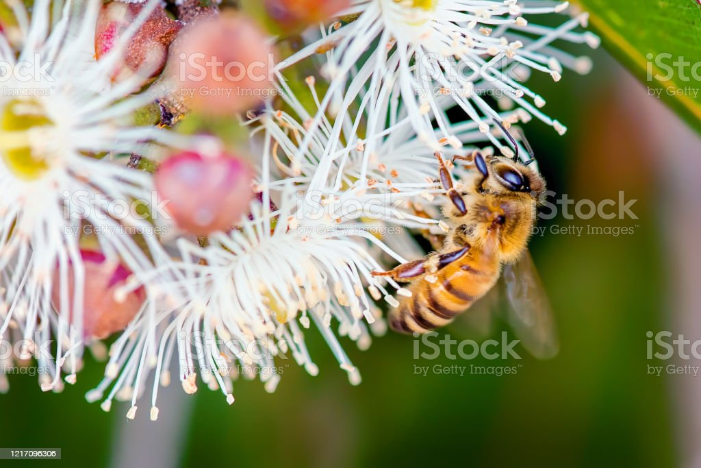 Bee on a flowering gum - Royalty-free Animal Stock Photo