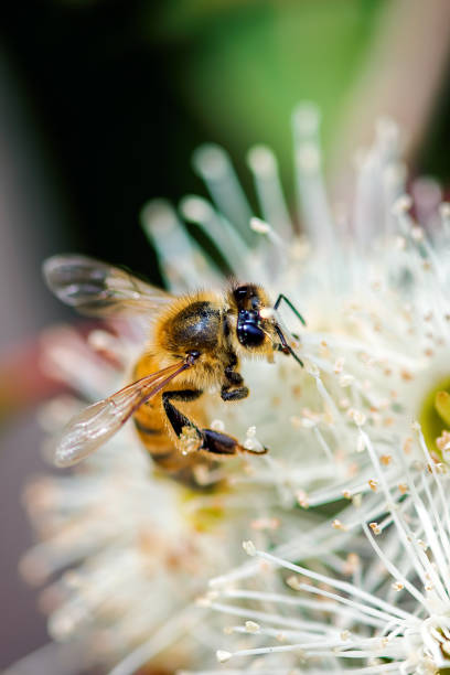 Bee on a flowering gum stock photo