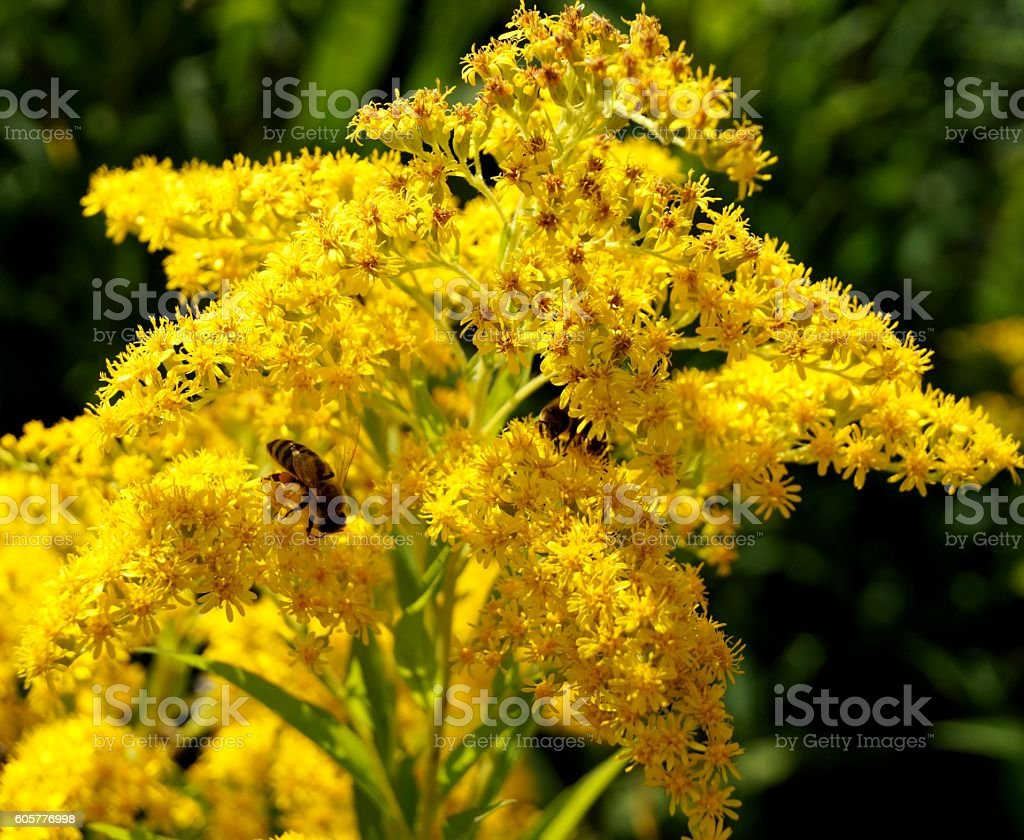 Bee on a goldenrod stock photo