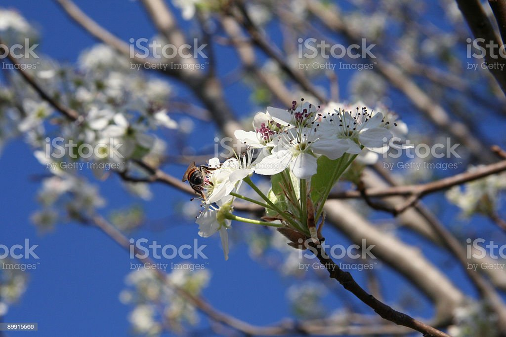 Bee on a pear tree royalty-free stock photo