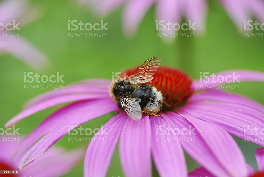 Bee on a pink coneflower royalty-free stock photo