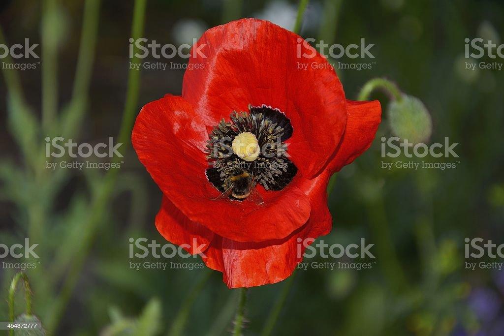 Bee on a Poppy royalty-free stock photo