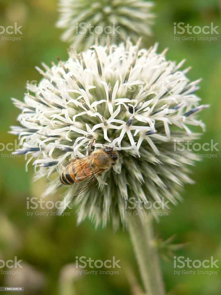 Bee on a round flower royalty-free stock photo