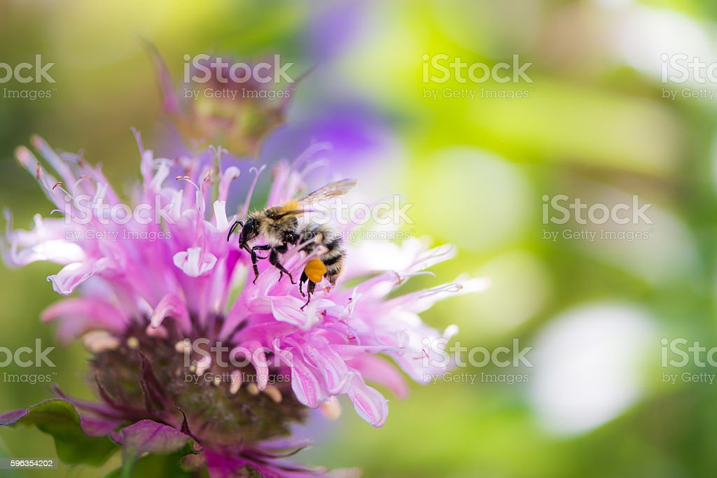 Bee on a scarlet beebalm flower blossom royalty-free stock photo