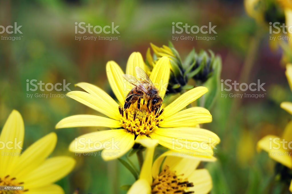 bee on a smooth oxeye flower (Heliopsis helianthoides) royalty-free stock photo