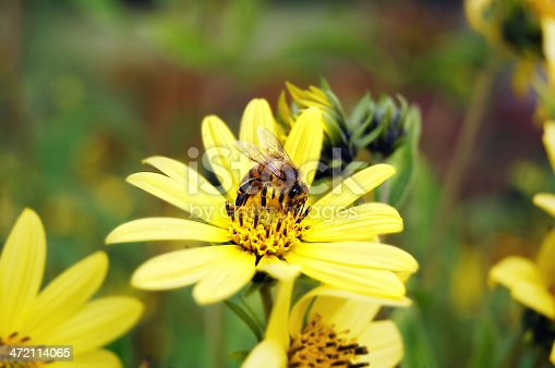 bee on a smooth oxeye flower (Heliopsis helianthoides)
