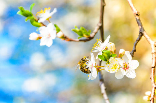 Bee on a spring flower collecting pollen and nectar stock photo