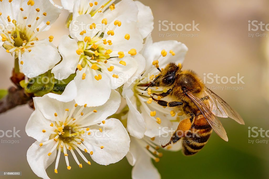 Bee on a spring flower collecting pollen and nectar Bee on a spring flower collecting pollen and nectar Agricultural Field Stock Photo