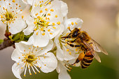 Bee on a spring flower collecting pollen and nectar