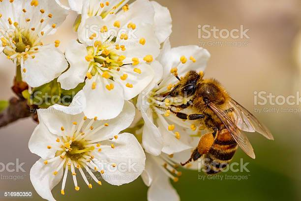 Photo of Bee on a spring flower collecting pollen and nectar