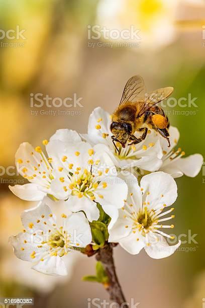 Bee on a spring flower collecting pollen and nectar picture id516980382?b=1&k=6&m=516980382&s=612x612&h=ywzsswi5v54ssltd3ihbvi 7imdayzey0zr1xjnvors=