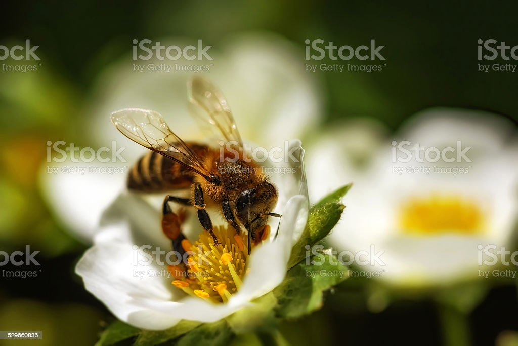 Bee on a strawberry flower collecting pollen and nectar stock photo