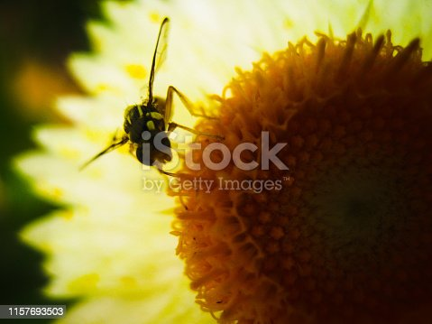 Macro photograph of a bee on sunflower