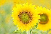 Honeybee on a sunflower of a field, selective focus