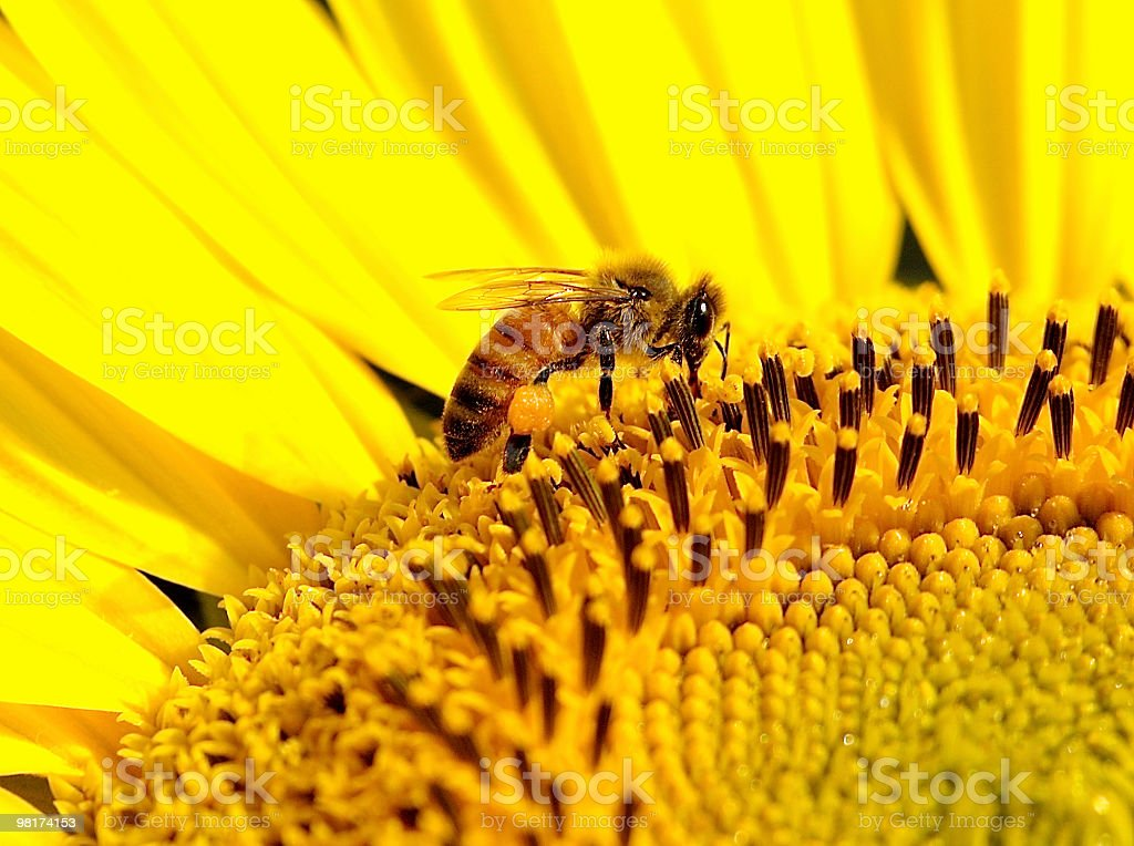 Bee on a Sunflower royalty-free stock photo