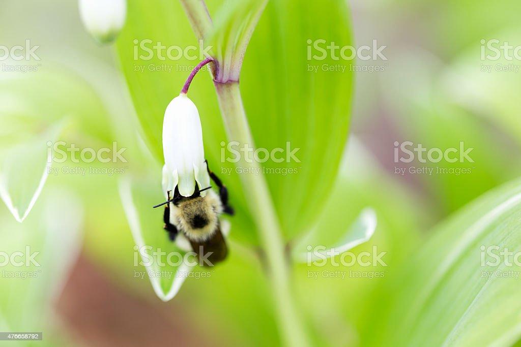Bee on a Varigated Solomon's Seal Polygonatum Flower stock photo