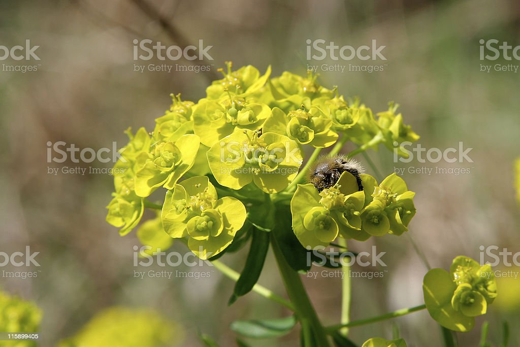 Bee on a weed stock photo