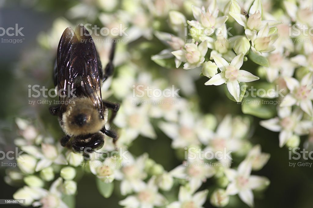 Bee on a white flower plant royalty-free stock photo