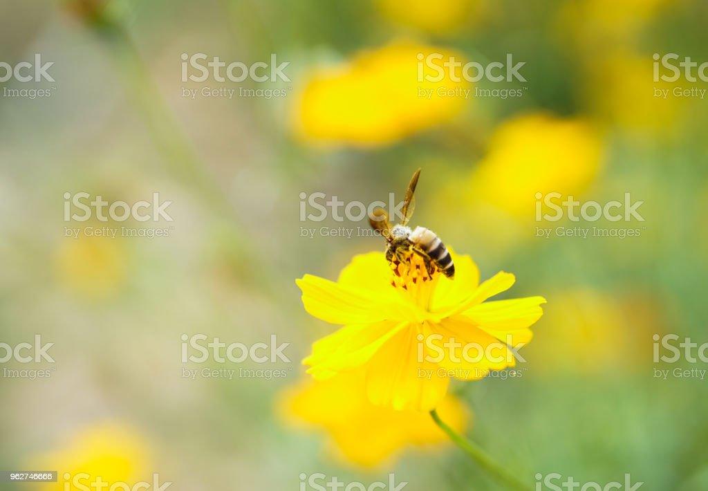 Abelha em uma flores de crisântemo amarelo. - Foto de stock de Abelha royalty-free
