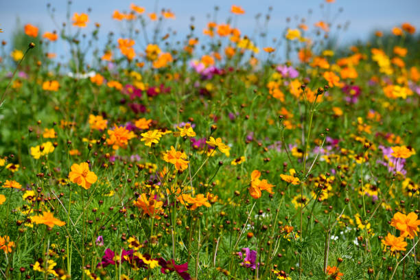 bir yaban çiçeği alanında sarı bir çiçek üzerinde arı - kır çiçeği stok fotoğraflar ve resimler