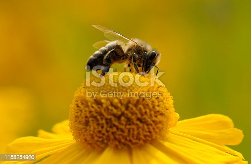 Pollination, bumble bee on a yellow flower
