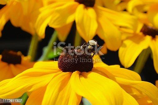 Honey Bee on a Black Eyed Susan