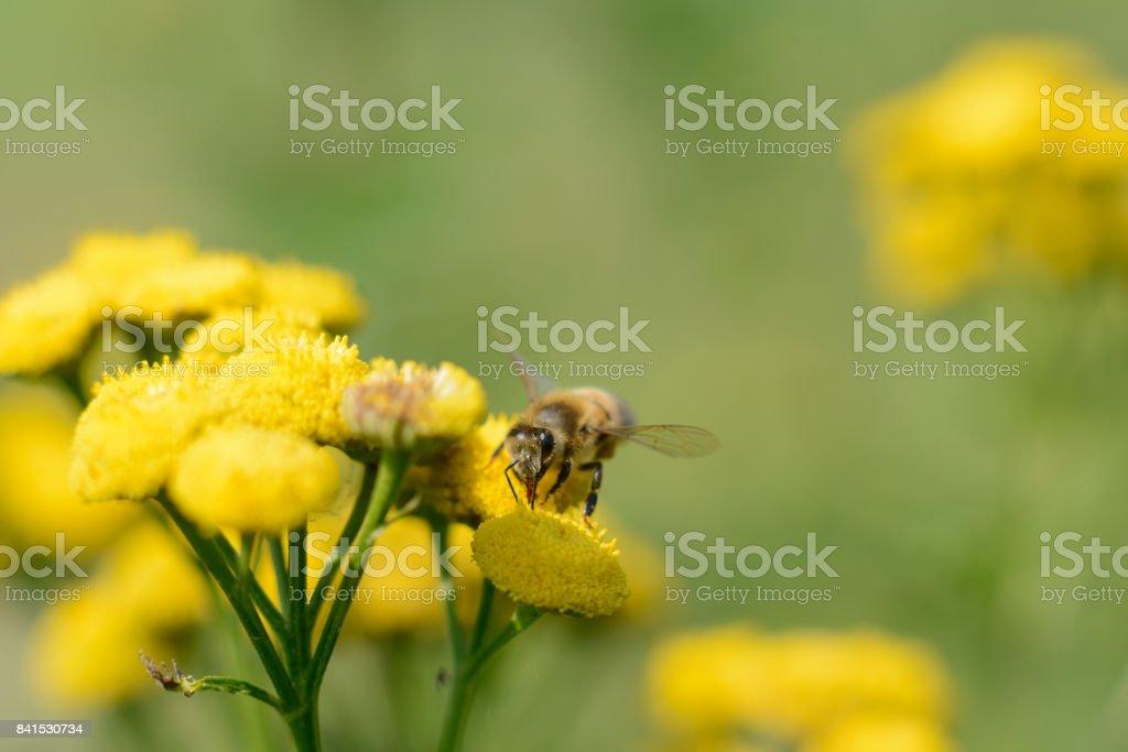 Biene auf einer gelben Blume – Foto