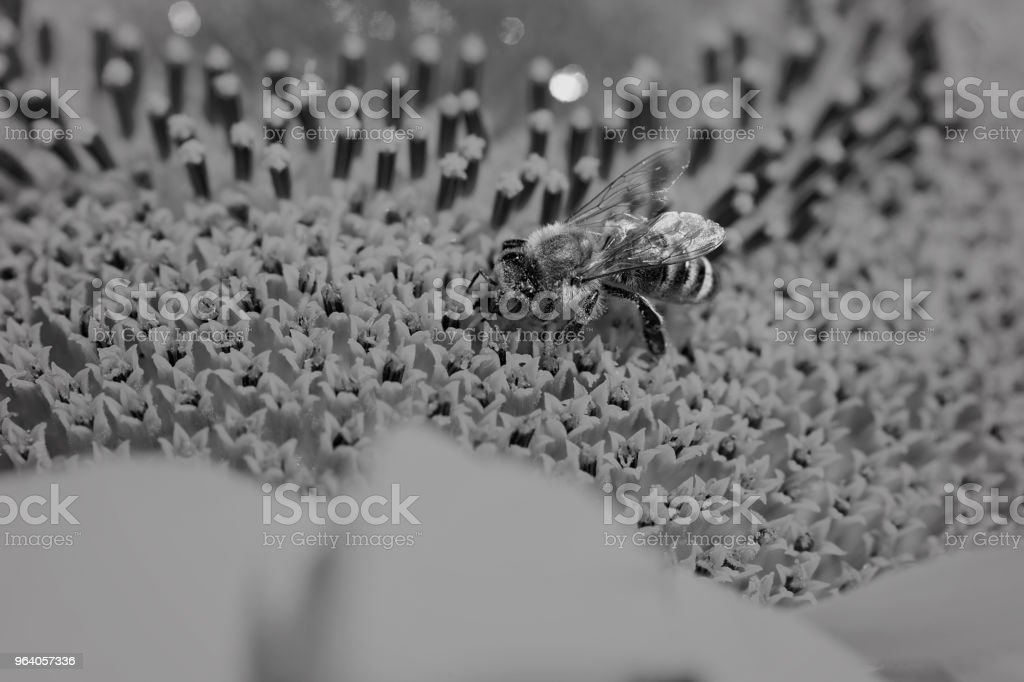 bee on a yellow  flower - Royalty-free Animal Stock Photo