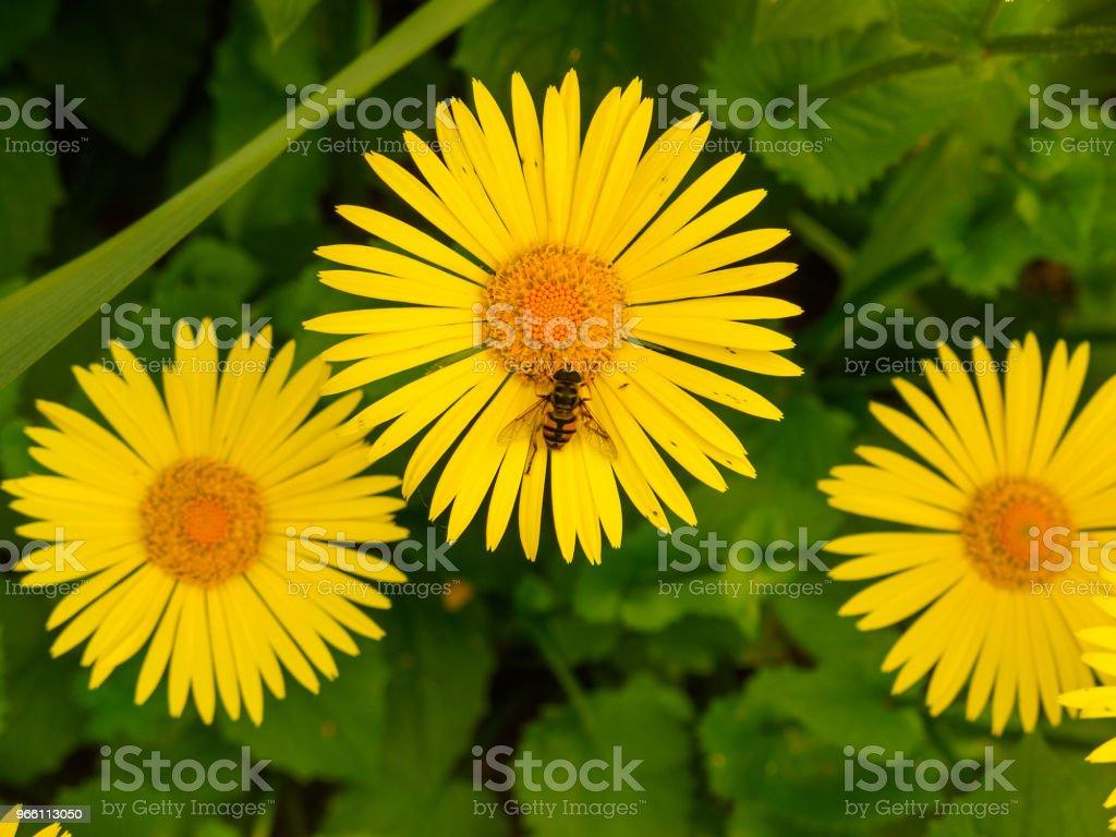 Eine Biene auf einer gelben Blume - Lizenzfrei Baumblüte Stock-Foto