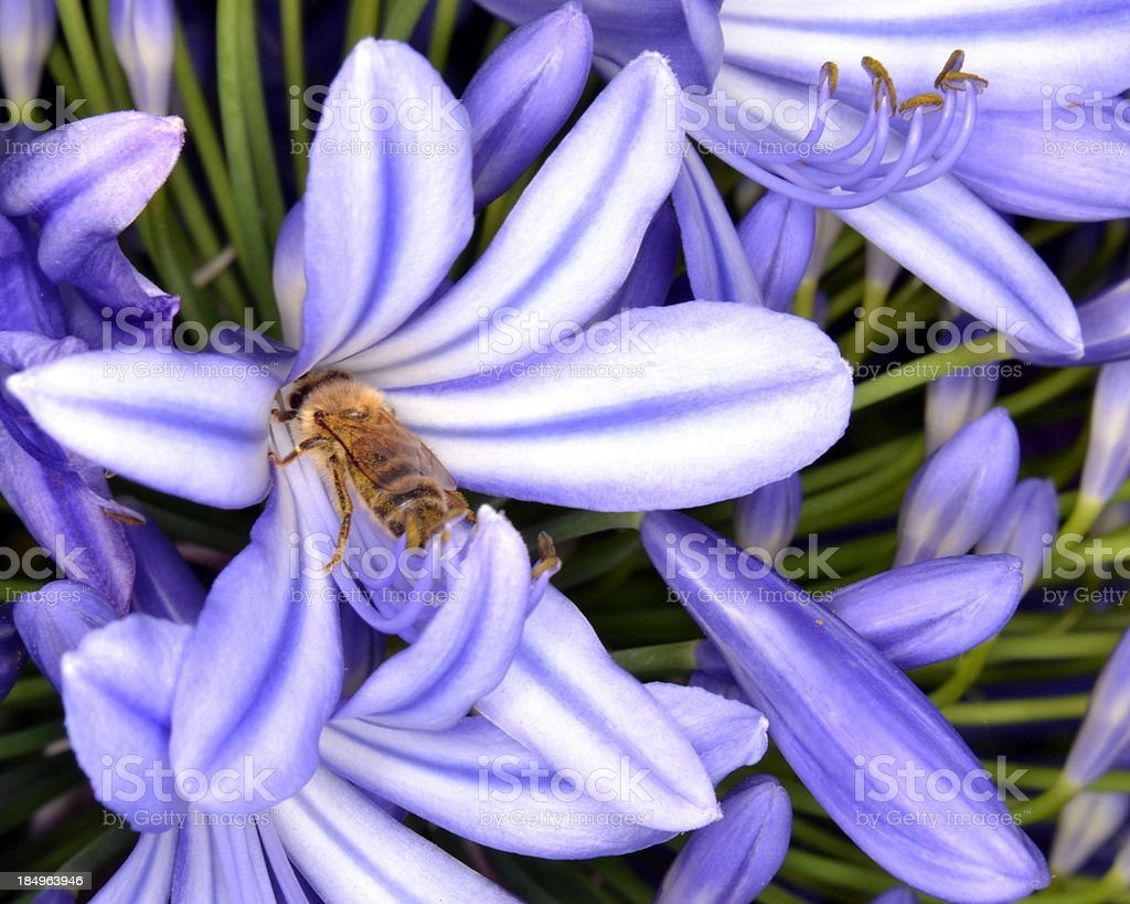 Bee on African Lily, Agapanthus Flower royalty-free stock photo