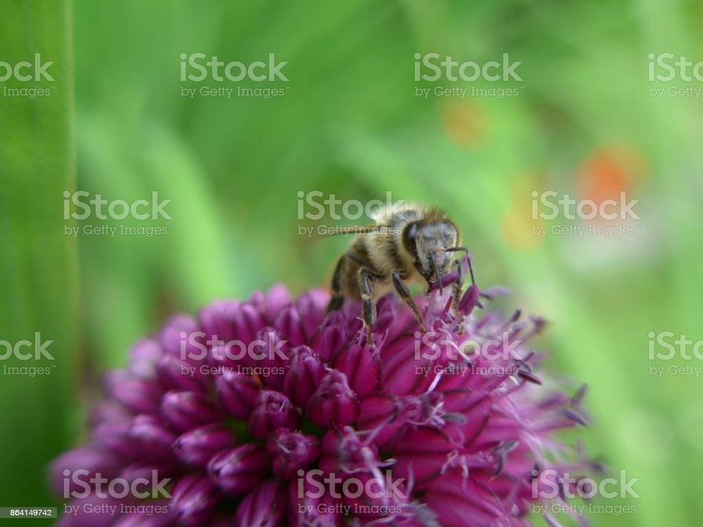 bee on an drumstick allium royalty-free stock photo