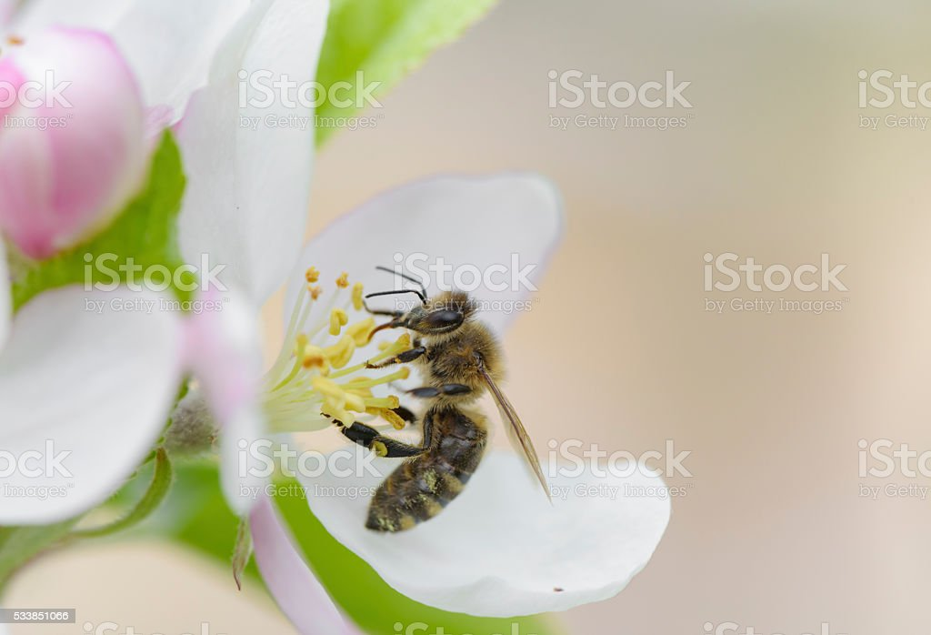 Bee on apple blossom. stock photo