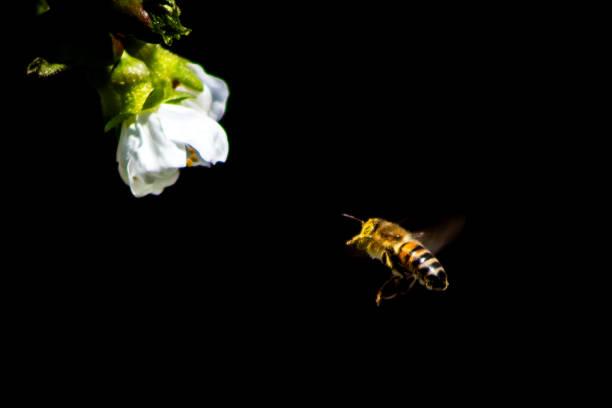 Biene im Anflug – Foto