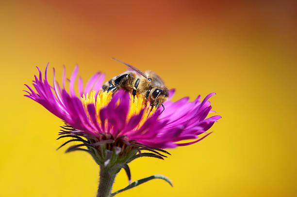 Biene auf aster – Foto
