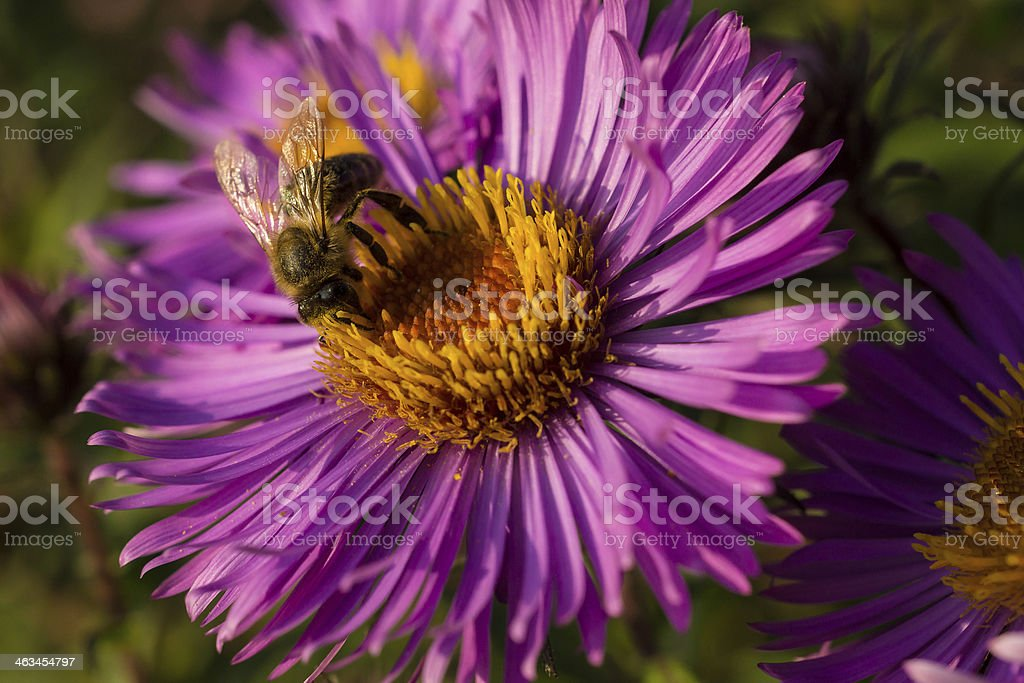 Biene auf Aster stock photo