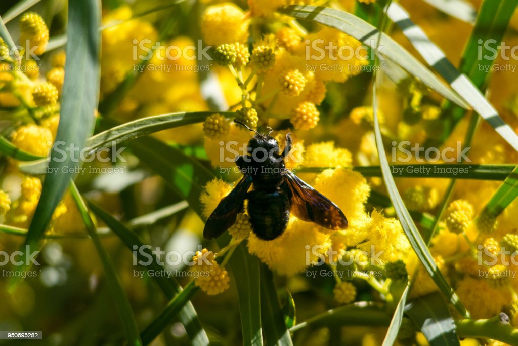 Bee on blossoming mimosa tree (Acacia pycnantha,  golden wattle) close up in spring, bright yellow flowers, coojong, golden wreath wattle, orange wattle, blue-leafed wattle, acacia saligna stock photo