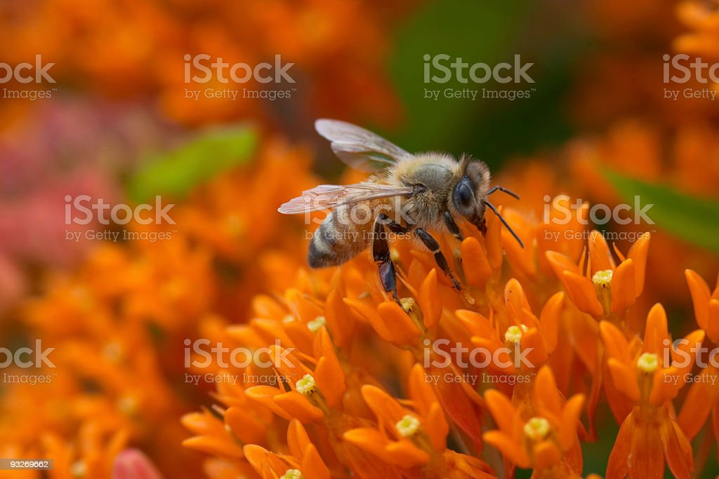 Bee On Butterfly Milkweed royalty-free stock photo