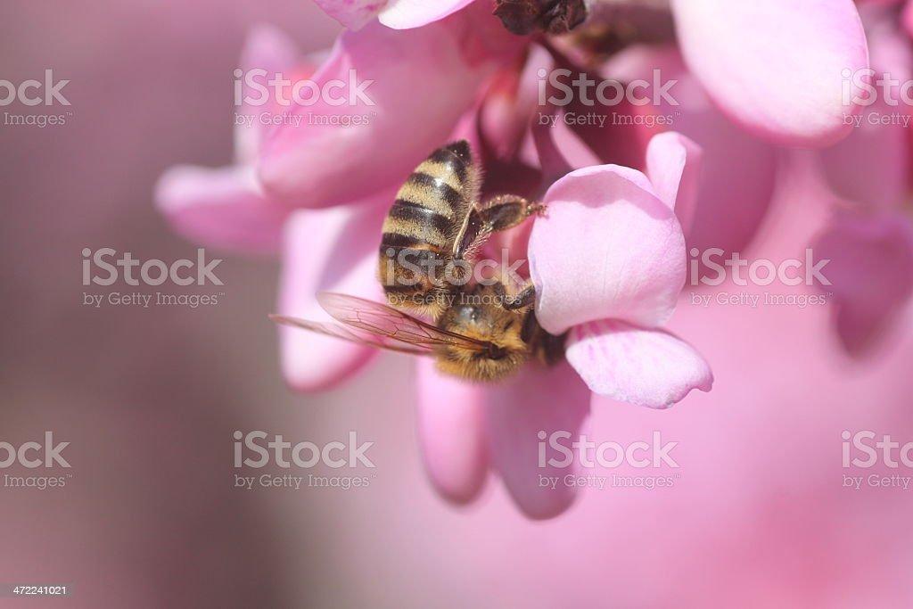 bee on  cercis siliquastrum royalty-free stock photo