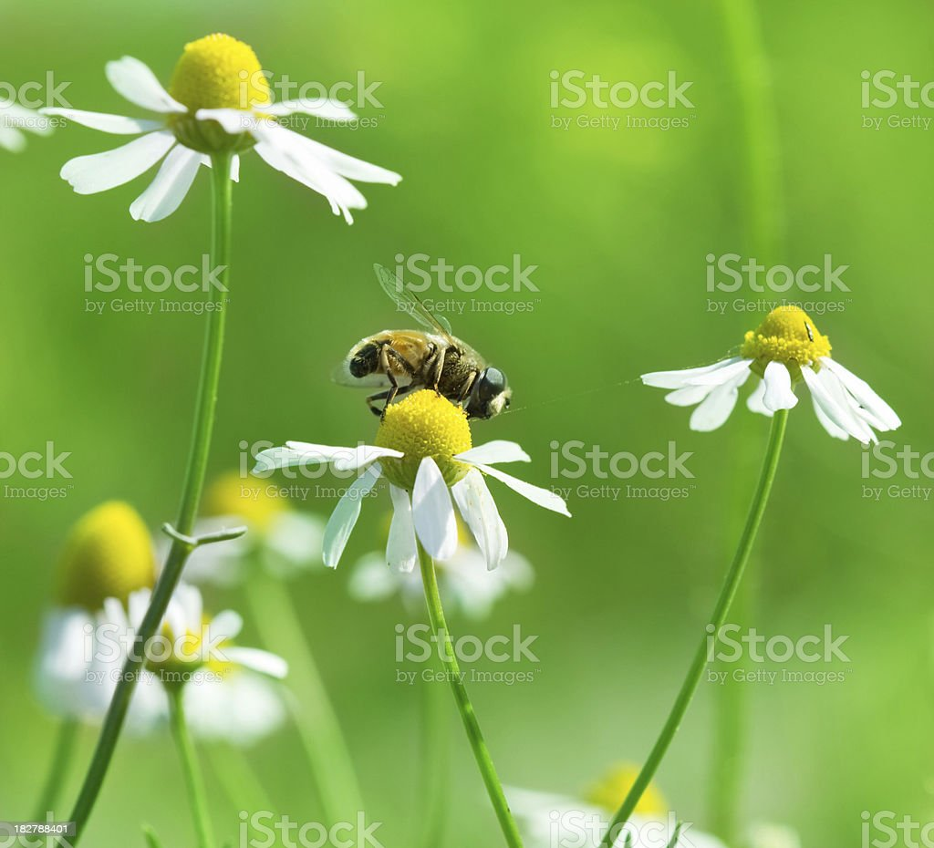 bee on chamomile royalty-free stock photo