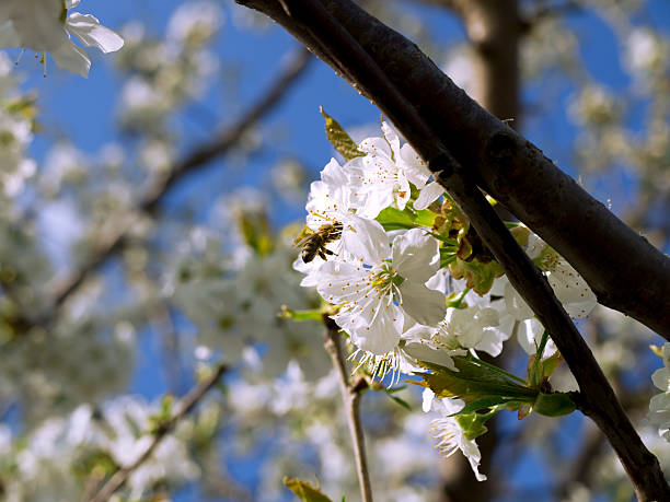 bee on cherry blossom - xxmmxx stock photos and pictures