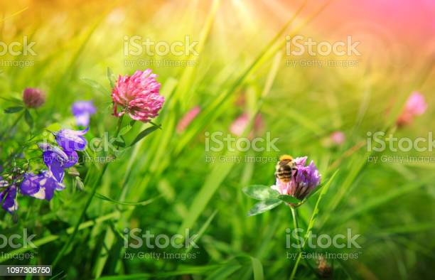 Bee on colorful clover flowers field nature meadow background picture id1097308750?b=1&k=6&m=1097308750&s=612x612&h=u5s sytutrozwlfr9m21hs ss8eyn  qeg1 8xhrmzs=