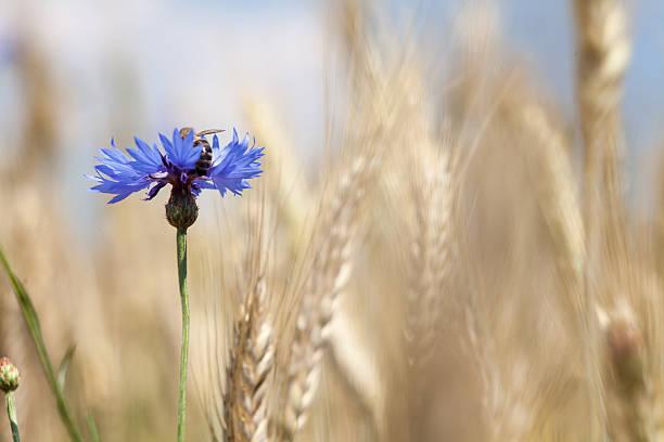 Bee on cornflower. Blue flower among the grain. – zdjęcie