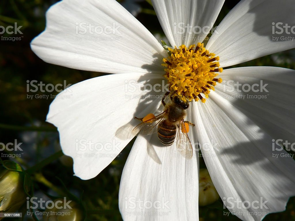 Bee on Cosmos Flower royalty-free stock photo