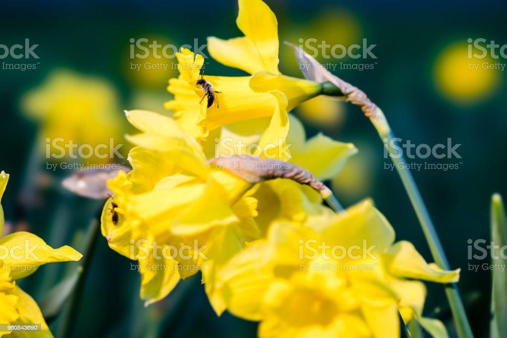 Bee on daffodil stock photo